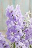 Delphinium flowers — Stock Photo