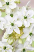 Spring background with arabian star flower (ornithogalum arabicu — Stock Photo