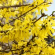 Blooming forsythia.  — Stock Photo #61103597