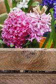 Hyacinth flowers — Stock Photo