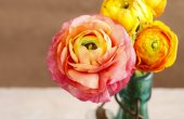Colorful persian buttercup flowers (ranunculus)  — Zdjęcie stockowe