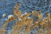 Garden in the winter: frozen reeds and trees — Stock Photo