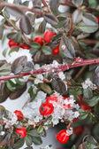 Kar altında kırmızı meyveler (dağ muşmulası horizontalis). — Stok fotoğraf