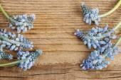 Цветы (гиацинта винограда) синие мускари дерева — Стоковое фото