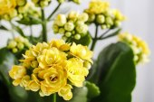 Kalanchoe blossfeldiana, commonly cultivated house plant — Stock Photo