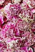 Pink carnations background — Stock Photo