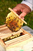 Bees on small wedding honeycomb held by apiarist — Stock Photo
