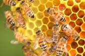 Hardworking bees on honeycomb in apiary — Stock Photo