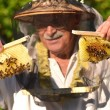 Постер, плакат: Experienced senior apiarist holding honeycombs from small wedding beehive in apiary