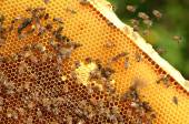 Hardworking bees on honeycomb in apiary — Stockfoto