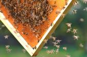 Hardworking bees on honeycomb in apiary — Foto Stock