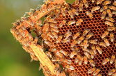 Hardworking bees on honeycomb in apiary — ストック写真