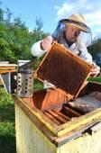 Apicultor senior experimentado hacer inspección en colmenar después de temporada de verano — Foto de Stock