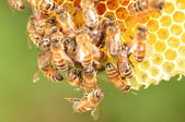 Closeup of bees on honeycomb in apiary — Stock Photo