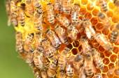 Closeup of bees on honeycomb in apiary — 图库照片