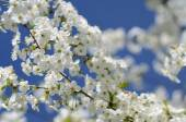 Delicate fresh beautiful cherry tree flowers — Stock Photo