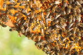 Hardworking bees on honeycomb in apiary in the springtime — Foto de Stock