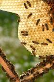 Hardworking bees on honeycomb in apiary in the springtime — Stock Photo