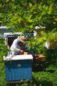 Experienced senior apiarist making inspection in apiary in the springtime — Stok fotoğraf