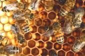 Gros plan des abeilles travaillent dur sur nid d'abeille — Photo