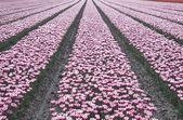 Dutch tulips in a row. — Stock Photo