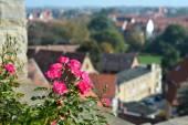 Blooming rose bush — Stock Photo