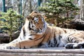 Relaxed Siberian Tiger — Stock Photo