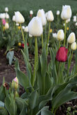 Tulips in the spring — Stock Photo