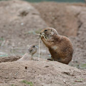 Young prairie dog with his mother — Stock Photo