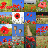 Collage - red poppies — Foto de Stock