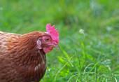 Free range hen in the meadow — Stock Photo