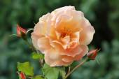 Orange colored rose blossom — Stock Photo