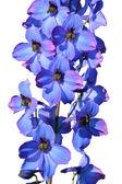 Isolated delphinium flower — Stock Photo