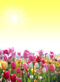 Sunny background with tulip blossoms — Stock fotografie