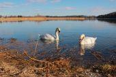 Pareja de cisne en lago seeham, Baviera — Foto de Stock