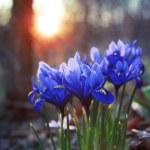 Spring flowers iris reticulata — Stock Photo #67739085
