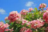 Flourishing dog rose — Stock Photo