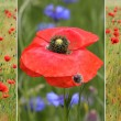Collage of red poppies in the field and one poppy flower — Stock Photo #73773427