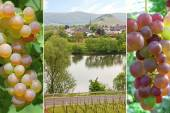 Collage - vineyard and grapes — Stock Photo