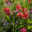Back lightened flowerbed with canna, cosmea and cleome — Stock Photo #78890084
