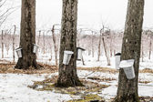 Forest of Maple Sap buckets on trees — Stock Photo