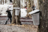 Kids lookin into the Maple Sap buckets — Stock Photo