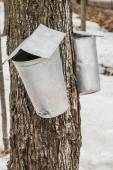 Maple Sap buckets on trees in spring  — Stock Photo