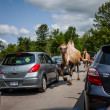 Постер, плакат: Editorial July 29 2014 at Parc Safari Quebec Canada on a b