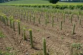 New vines in English vineyard — Stock Photo