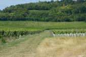 English vineyard in Surrey — Stock Photo