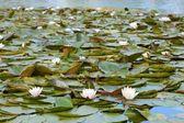 White Waterlilies — Stock Photo
