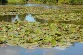 Red Waterlilies — Stock Photo