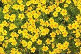 Small yellow florets — Stock Photo