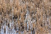 Grass of a dry sedge and reed in water — Stock Photo